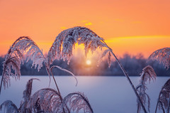 Winter sunset (Pásztor András) Tags: sunset snow landscape nature winter sky cold background scene beautiful frost white season outdoor river sun light reed ice field rural weather lake bright plant water frosty beauty frozen snowy reeds grass country travel natural nobody scenic sunlight december cane morning day park red tranquil dawn colorful countryside orange covered horizon hoarfrost yellow moody scandinavia backlight dslr nikon d5100 hungary andras pasztor photography 2017