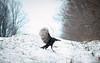 Turkey Jump (cowgirljo78) Tags: turkey wild jump leap slide snowy cold winter january wisconsin wildlife frozen flying wings wingspan backroads road country rural