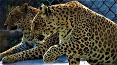 Playful... (Bodhisotto) Tags: leopards new delhi zoo bodhisotto bodhisatya cats wildlife caged