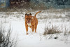 SHA_0258 (andreyshkvarchuk) Tags: dog doguedebordeaux mastiff winter snow 7d2 702004lis