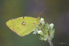 Colias crocea (mauro.santucci) Tags: coliascrocea pieridae farfalle farfalla lepidottera lepidotteri colore butterfly macro ngc