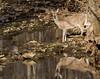 Whitetail Deer (royhale71) Tags: canon7dmarkii sigma150600 deer doe water creek rock woods thirsty drinl reflection