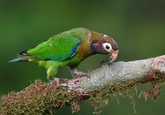 Brown-hooded Parrot (anacm.silva) Tags: brownhoodedparrot parrot papagaio ave bird wild wildlife nature naturaleza birds aves costarica bocatapada pyriliahaematotis ngc coth5