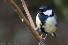 Great Tit (Dougie Edmond) Tags: bird nature birds wildlife canon winter rozelle ayrshire