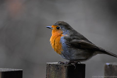 DSC_0251 (Coed Celyn Photography) Tags: birds uk garden british bird forest close up robin robins red breast