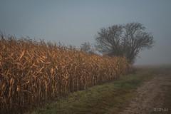 foggy morning @ the cornfield (CPbild) Tags: corn sigma35mm14 d750 nikon landschaft herbst nature autumn mais fog outdoor nebel cpbild natur landscape