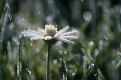 daisy frost (christophe.laigle) Tags: christophelaigle fleur macro frost nature flower fuji cristaux daisy frosty xpro2 xf60mm pâquerette ngc