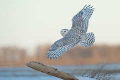 a favored perch (Earl Reinink) Tags: owl bird animal winter snowyowl earlreinink ozedraudza