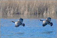 Grote Canadese gans (pietplaat) Tags: pietplaat vogels sgravenzande debanken grotecanadesegans