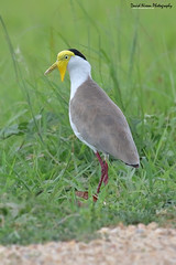 Masked lapwing, Vanellus miles (Midlands Reptiles & British Wildlife Diaries) Tags: masked lapwing vanellus miles wader plover papua new guinea birds ornithology yellowface png newguinea papuanewguinea papuan australasia nesting wading hunting davidnixon canon 7dmkii 7d2 7dmk2 7dmk11 100400 100400mm paradise warm sunny hot grass