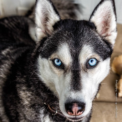 What do you want? (Lucien Schilling) Tags: dogs dog husky animal pet siberian portrait canine wolf fur snow eyes breed winter blue white malamute cute mammal head friend alaskan purebred black face