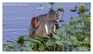 Green-winged Teal (Anas crecca) GWTE - Eye Candy (Best seen large)