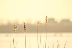 Reeds (Joelle Rademakers Fotografie) Tags: winter february 2018 netherlands