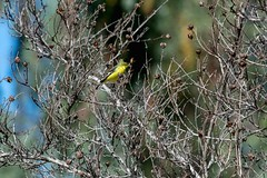 2017 Lesser Goldfinch 2 (DrLensCap) Tags: temecula california lesser goldfinch ca bird robert kramer