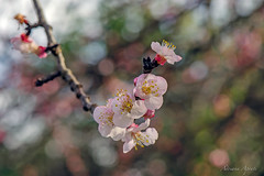 21 febbraio 2018 (adrianaaprati) Tags: flowers blooming branch tree petals nature blur bokeh closeup