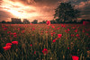 http://weinheim.photos (HatCat Photography) Tags: field meadow countryside oilseed rural cultivated land grass scene copse malus domestica sun poppies fuji fujifilm sunset nature