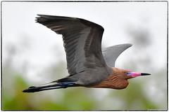 Reddish egret, breeding color (RKop) Tags: alafiabnaks reddishegret raphaelkopanphotography florida nikon d500 nikkor600f4evr wildlife