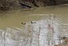 Flooding 2018 Feb 24 (ladybugdiscovery) Tags: nortondrain drain pipe drainage ducks flood flooding chathamkent