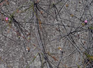 Drosera pulchella [pink] and D. patens, Lake Gnangara, Perth, WA, 28/11/17