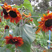 Prado Red Sunflowers I – Red Moon Sanctuary, Redmond, Western Australia