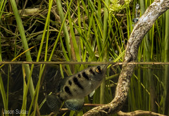 Sevenspot Archerfish (Toxotes chatareus) shooting a fly. (jasonsulda) Tags: sevenspot archerfish toxotes chatareus fish underwater photography habitat reeds sedges fly shooting spiting food lake north queensland australia seven spotted archer aquatic native fishes freshwater saltwater river creek stream brook wildlife fauna australian macro canon 7d mark ii portrait studio setup