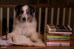 9/52 The Dog Knows (Jasper's Human) Tags: 52weeksfordogs 52wfd aussie australianshepherd dog study read notes