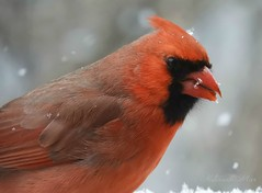 No sign of spring yet... (NaturewithMar) Tags: northern cardinal male bird wisconsin winter closeup 7dwf wednesday coth5 ngc npc