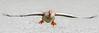 Greylag Goose  -  Graugans (CJH Natural) Tags: greylag goose greylaggoose grauganse ganse bif birdinflight fly wingspan float