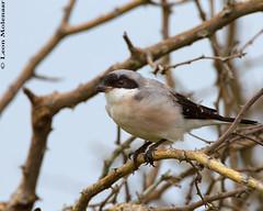 Lesser Grey Shrike (leendert3) Tags: leonmolenaar southafrica krugernationalpark wildlife nature birds lessergreyshrike coth5 ngc