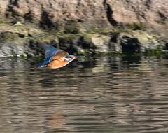 Kingfisher in flight (Mukumbura) Tags: kingfisher flight bird fish fishing catch water splash flying wildlife england alcedoatthis bishopspalace moat wells somerset nature wall rock