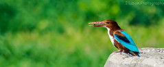LUNCH TIME (KASHIF QAISER) Tags: kingfisher wildlife outdoor travel colors bird nature trees green nikon nikond5200