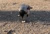 Hooded Crow (ipin-by-the-sea) Tags: corvuscornix hoodedcrow berlin lustgarten