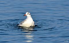 Mouette au bain (Diegojack) Tags: saintsulpice vaud suisse oiseaux mouettes reflets léman eau lac coth5