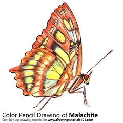 Malachite with Color Pencils [Time Lapse] (drawingtutorials101.com) Tags: malachite siproeta stelenes butterfly animal animals insects insect sketch sketches sketching draw drawing drawings color colors coloring pencil how timelapse video speed