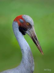 Brolga_DSC7264 (Mel Gray) Tags: brolga australianbird huntervalleyzoo
