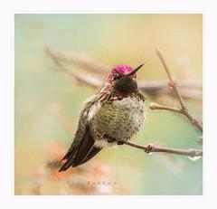 Excitement (Krasne oci) Tags: hummingbird annashummingbird hummer bird wildbird wildlife nature closeup texturedphoto evabartos artphotography photoart