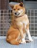 "Sanroku Ropeway Station-02 (photozaki) Tags: ""dogs cats"" dog dogs inu cat cats neko shikoku japan ohenro88 ohenro pilgrimage"
