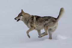 (clabattis) Tags: lagorai lupo passocinquecroci rifugioconseria neve