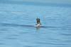Osprey (M. Coppola) Tags: osprey pandionhaliaetus keyvistanaturepark florida adult flight catchingfish