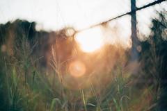 高雄 楠梓 / 雜草堆 (Paginafa Kenny Hu) Tags: nikon d610 helios 582 helios44m sunshine bokeh grass kaohsiung 高雄 都會公園 nanzih