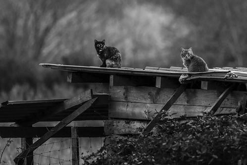 Gatos sobre el tejado de zinc - Cats over the zinc roof