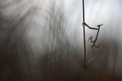 Winter ghost (donlope1) Tags: macro nature light shadow empuse mantis bokeh sunset insect wild wildlife proxy