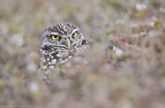 Florida Burrowing Owl (Cameron Darnell) Tags: owl bird 2018 florida nature animal january burrowing cameron tamron canon birdinhg birding