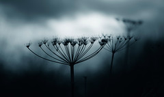 Senescence (GillK2012) Tags: cow parsley nature winter silhouettes blues cyan moody dark light huw wednesday sylvestrisanthriscus wildflower monochrome