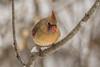 Northern Cardinal (sklachkov) Tags: winter snow northerncardinal feedingthebirds bird birds