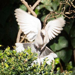 Turtle Dove Settling In