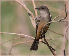 Say's Phoebe 9410 (maguire33@verizon.net) Tags: santimcanyon saysphoebe sayornissaya bird flycatcher wildlife