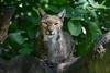 Eurasian lynx - Zoo Duisburg (Mandenno photography) Tags: dierenpark dierentuin dieren animal animals duitsland duisburg zoo zooduisburg eurasian european lynx luchs cat big ngc nature