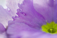 Hello.... (setoboonhong) Tags: nature flower primula macro depth field colours bokeh blur stamen petals hello song lionel richie fitzroy garden conservatory spring 2017