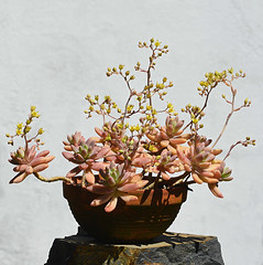 x Graptosedum